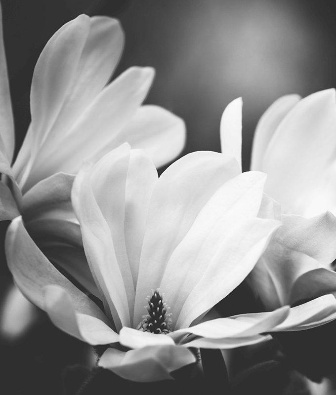 Magnolia Flowers Black Wallpaper